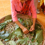 Feeding silkworms with fresh mulberry leaves