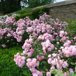 Scented roses at Hardwick Hall, Derbyshire