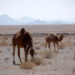 Camels from a local caravanserai graze along the main highway